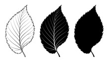 Elm Tree Leaf. Vector Illustration. Outline, Silhouette, Line Art Drawing