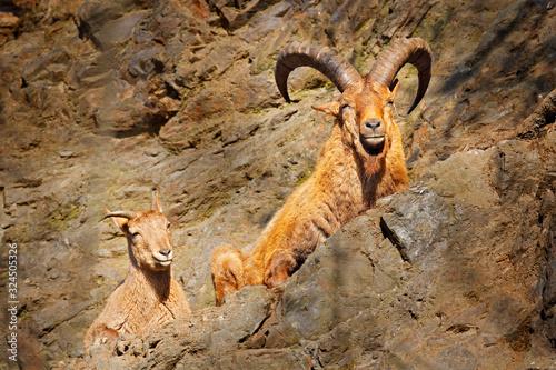 Fotografie, Tablou West Caucasian tur, Capra caucasica, sitting on the rock, endangered animal in the nature habitat, Caucasus Mountains, range description Georgia and Russia