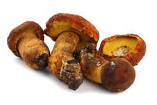 Rugiboletus Extremiorientalis Mushroom