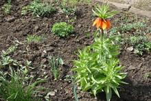 Bright Orange Flowers Of Imper...