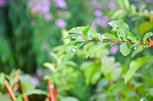 Dew On Green Leaves Of Spirea Shrub