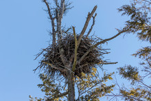 The Bald Eagle's Nest In A St...