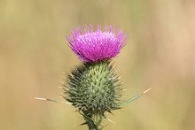Cirsium Vulgare, Known As The Spear Thistle, Bull Thistle Or Common Thistle, Wild Plant From Finland