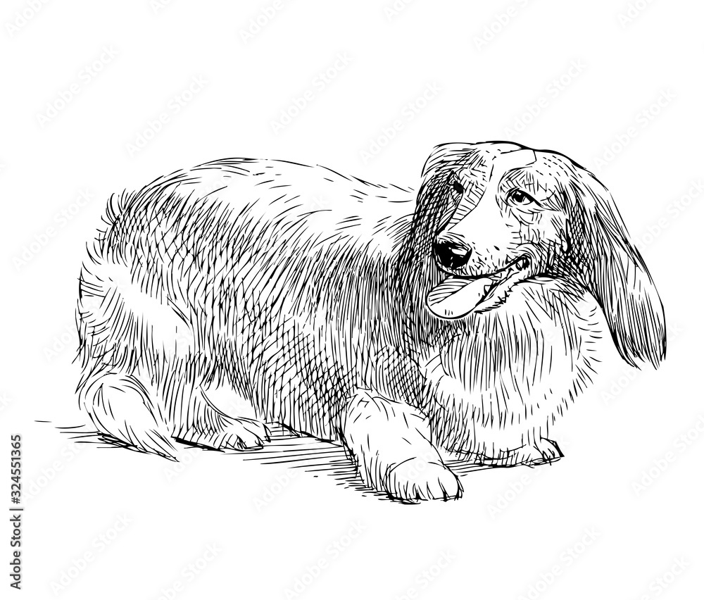 Fototapeta Freehand drawing of purebred longhair dachshund