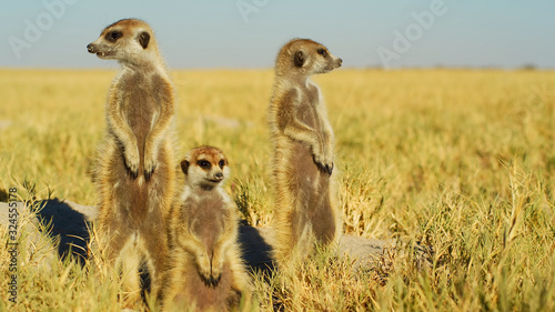Fotografie, Obraz A beautiful meerkat is watching arround wildlife