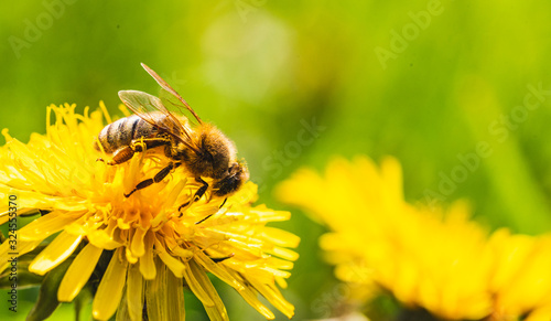 Fotografia Honey bee covered with yellow pollen collecting nectar from dandelion flower