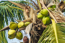 Monkey Pick Up A Coconut From A Tree.