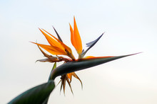 An Open Bird Of Paradise Flower In Full Bloom