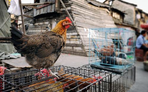Alive chicken at street market in Shanghai Canvas Print