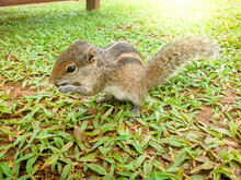 Closeup Image Of Cute Tropical Palm Squirrel Eating Seeds On The Grass