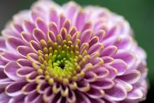 Pastel Purple Pink Mini Dahlia...