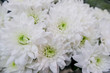 White chrysanthemum, a combined bouquet. Close up of flowers.Beautiful floral background.Selective focus.