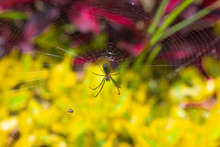 Wasp Spider On The Web, Top View