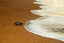 Olive Ridley Sea Turtle (Lepidochelys Olivacea), Also Known Commonly As The Pacific Ridley Sea Turtle