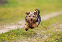 Norfolk Terrier Spielt