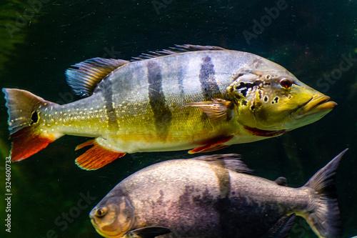 egzotyczne kolorowe ryby w akwarium Canvas Print