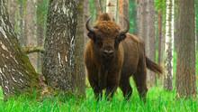 European Bison (Bison Bonasus)...