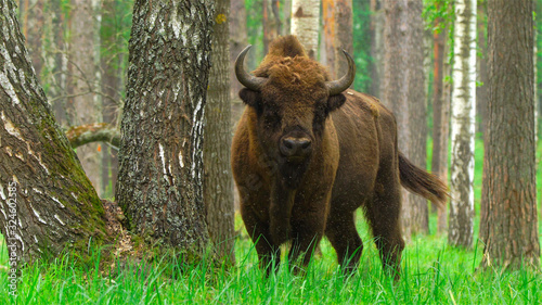 Fotografia European bison (Bison bonasus) captured in Oka nature reserve, Russia
