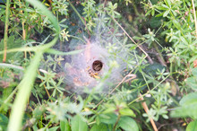 Spider Waiting In Its Net Cave, Caught Wasp