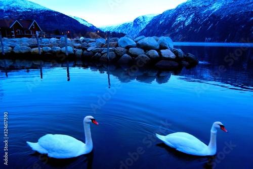 Photo swan on lake