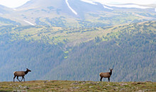 Elk On Mountainside