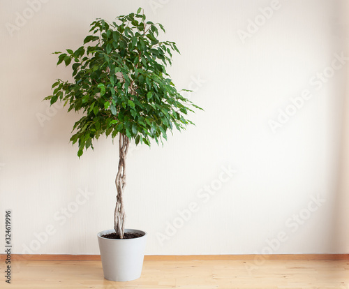 Valokuva ficus benjamina large green houseplant with long braided stem