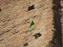 Two Beautiful Parakeets On The...