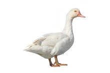 White Farm Duck Cut Out On Whi...