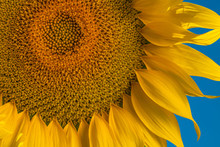 The Yellow Of Almost Ripe Sunflowers