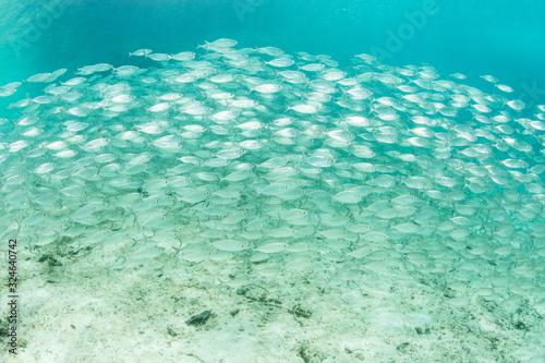 A large school of Yellowstripe scad swim in Alyui Bay, Raja Ampat, Indonesia Slika na platnu