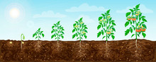 Tomato Plant Growth Stages From Seed To Flowering And Ripening. Illustration Of Tomato Feld And Life Cycle Of Healthy Tomatoes Plants With Underground Roots System In Nature. Organic Gardening