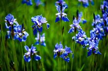 Iris Sibirica.plants From Bota...