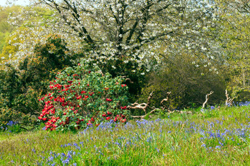 Fototapeta Ogrody Spring scene with white flowering cherry tree, red rhododendron, blue bells in grass on the edge of woodland, in rural English countryside .