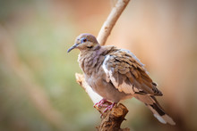 White Winged Dove Sitting On A...