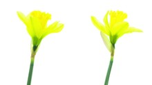 Two Yellow Daffodil Flowers Bl...
