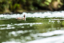 A Duck Paddling In The Kaituna River