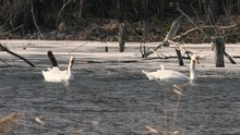 Pair Of White Swans Swims In T...