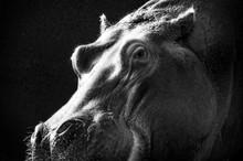 Greyscale Closeup Of A Hippopo...