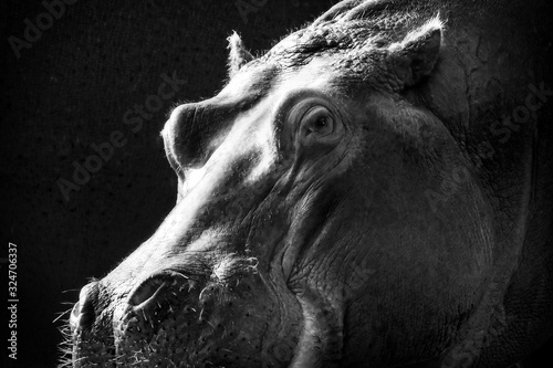 Fotomural Greyscale closeup of a hippopotamus under the lights against a black background