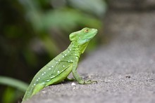 Macro Photography Of A Cute Little Green Iguana With A Blurred Background