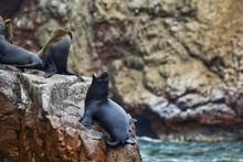 Closeup Shot Of A Sea Lion Yaw...