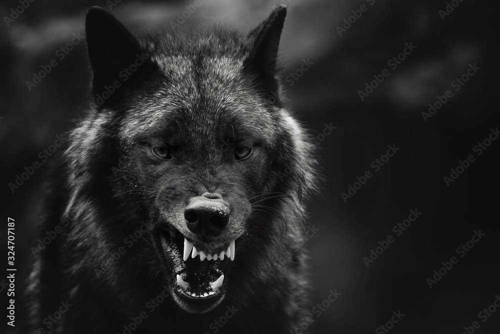 Fototapeta Greyscale closeup shot of an angry wolf with a blurred background