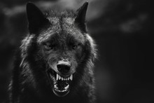 Greyscale Closeup Shot Of An Angry Wolf With A Blurred Background