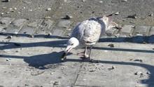 Seagull / Herring Gull Breaks ...