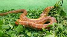 The Snake Eats A Mouse