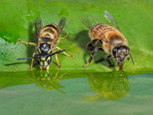 Honey Bee And Wasp Having A Dr...