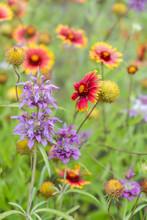 Horsemint Blooming In Late Spr...