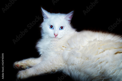 Photo Turkish angora cat portrait