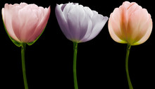 Set  Flowers Tulips On The Black  Isolated Background With Clipping Path. Close-up. Flowers On The Stem. Nature.