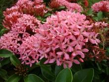 Medium Close Up Of A Clusters Of Tropical Pink Santan Flowers, Or Santan Ixora